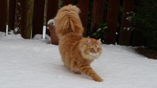 Siberian cat Milo's first snow