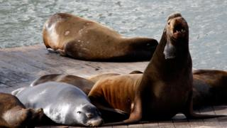 Sea lions on a wooden pier in San Francisco