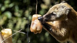 Coati eating iced fruit