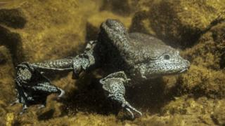 Photo of a Lake Titicaca giant frog courtesy of Bolivia's Natural History Museum
