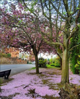 Blossom lying on the ground beneath a blossom tree