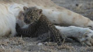 Маленький леопард смотрит в камеру