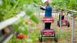Woman picking strawberries