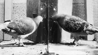 Experimento com pombos