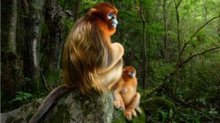 Dois macacos-de-nariz-arrebitado sentados sobre uma pedra, na China