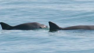 Vaquitas marinas en el Golfo de California