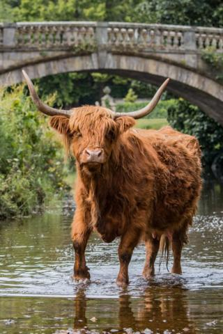 Highland cow at Pollok Park
