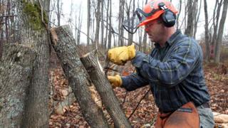 Forest entomologist Kyle Lombard cuts back the bark on an ash tree