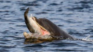 Bottlenose dolphin catching salmon