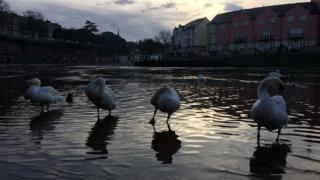 Swans at Quay