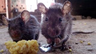 Rats wey dey cause Lassa fever