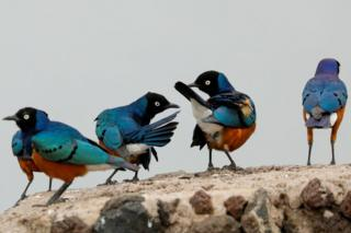 Starlings are seen in the Amboseli National Park, Kenya. Their feathers are a combination of bright blue, purple, black, white and brown.