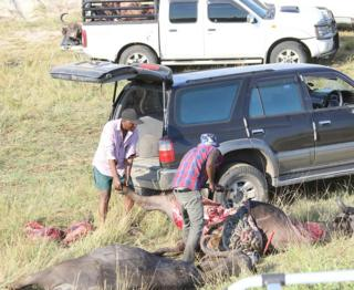 Lions blamed as hundreds of buffalo drown in Botswana