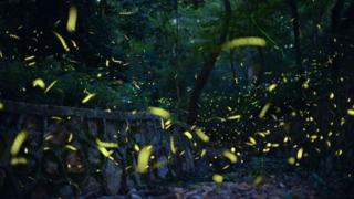 Firefly tourism is growing in countries including Mexico, Japan, Malaysia and India