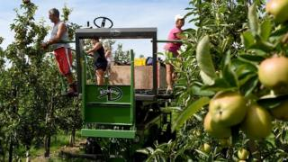 Polish workers thin trees at an orchard in Worcestershire