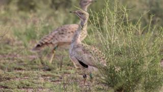 A Houbara bustard in the Lal Shanra national park area near Bahawalpur in southern Punjab being released into the wild by Houbara Foundation International