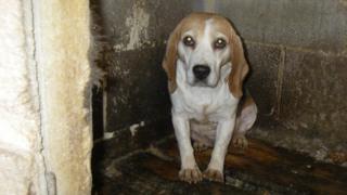 Beagle found at puppy farm