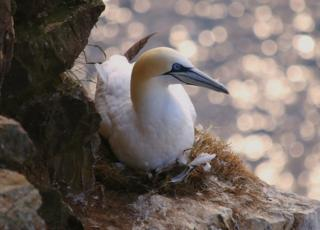 Gannet at Troup Head