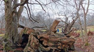 Cadzow oak tree