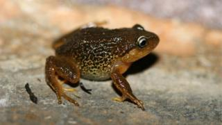 "Handout pictured released in Bogota by the Humboldt Institute of a Pristimantis macrummendozai frog. A terrestrial frog with yellow eyebrows that lives in Colombia""s East Andes was identified as a new species by the Humboldt Institute researchers, reported the entity on March 8, 2016."