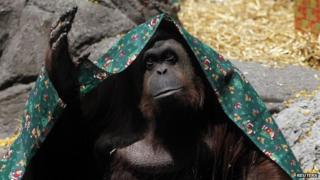 "An Orang-utan named Sandra, covered with a blanket, gestures inside its cage at Buenos Aires"" Zoo, in this December 8, 2010 file photo"