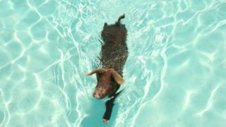 Багамские свиньи умеют и любят плавать