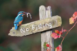 """male kingfisher on """"no fishing"""" sign with fish in its mouth"""