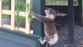 A koala found screwed to a wooden shelter in Queensland, Australia