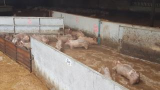Pigs in floodwater at Keldholme Piggery