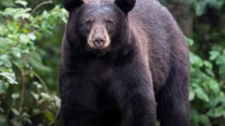 هل يمكنك العيش بجوار الدببة البرية؟