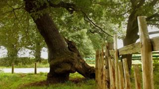 Parliament Oak