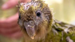 Endangered kakapo parrot