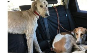 two dogs rescued by police investigating illegal hare coursing