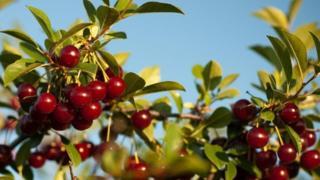 Ceri padang rumput rasanya masam dan bisa dimakan langsung dari pohon.