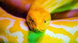 Les pythons sacrés vivants constituent l'une des attractions touristiques majeures du temple des Pythons,un sanctuaire vaudou situé à Ouidah (Bénin)