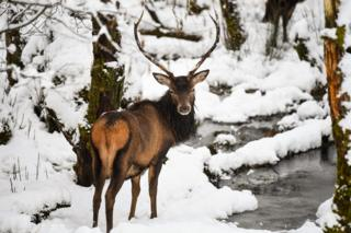 Scottish-red-deer-in-snow