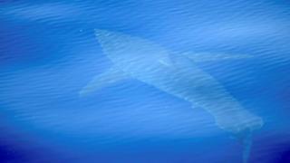 Cabrera takım adaları çevresinde yüzerken kayıt altına alınan köpek balığının