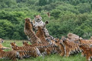 A large group of Siberian tigers feeding