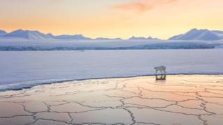 A polar bear walking along the edge of ice in the setting sun.