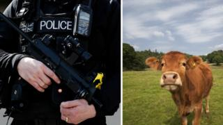 A firearms police officer and a cow