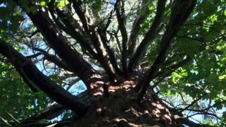 The 200-year-old tree