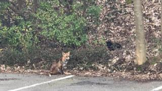 A fox spotted in the RTBF car park by journalist Mehdi Khelfat