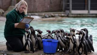 Keeper Zu Zanna counts penguins during the annual stocktake at ZSL London Zoo