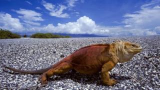 Land iguana with erupting volcano, Conolophus subcristatus, Fernandina Island, Galapagos Islands.