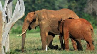 Eléphants, Afrique