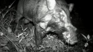 imagem do 'porco verruguento'