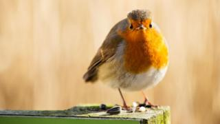European robin (c) Science Photo Library