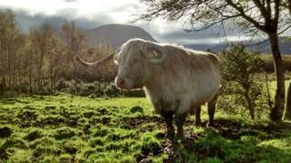 Cow in front of Ben Nevis