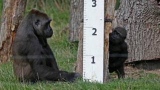 Gorillas beside tape measure