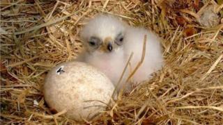 eagle chick